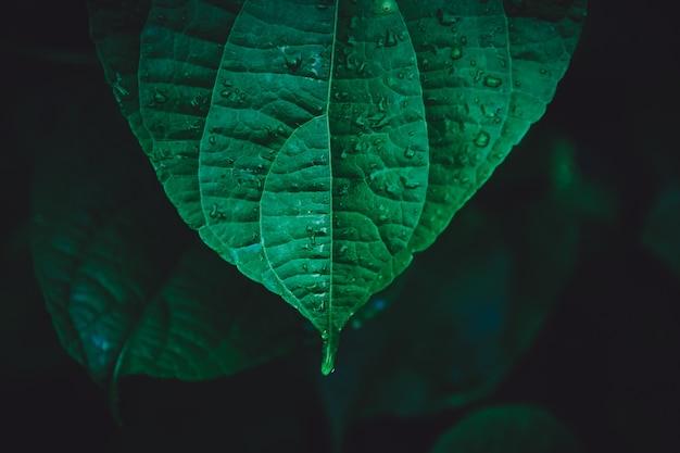 Waterdruppels op sacha inchi groene bladeren, donkere tint