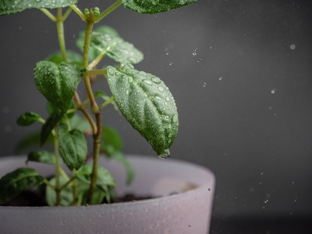 Waterdruppels vallen op de bladeren van kamerplanten