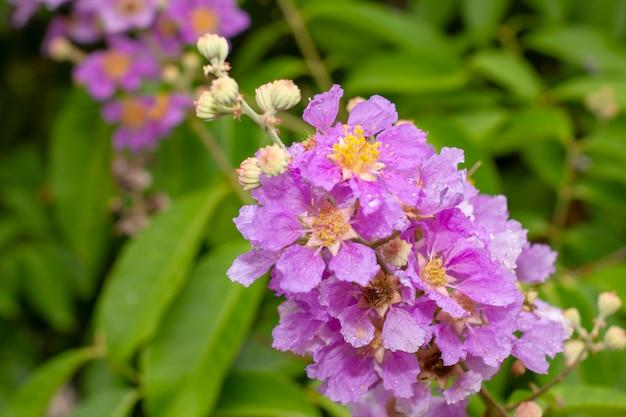 Waterdruppeltjes in roze inthanin-bloemen