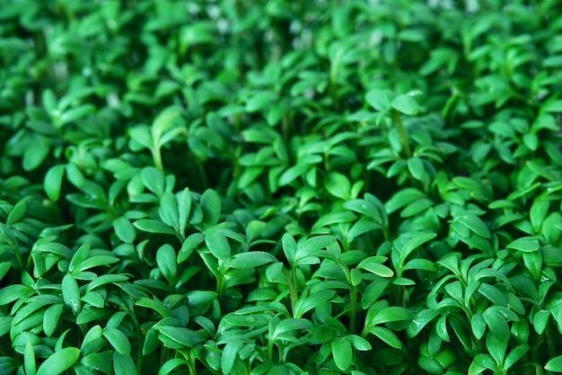 Waterkers microgreen achtergrond