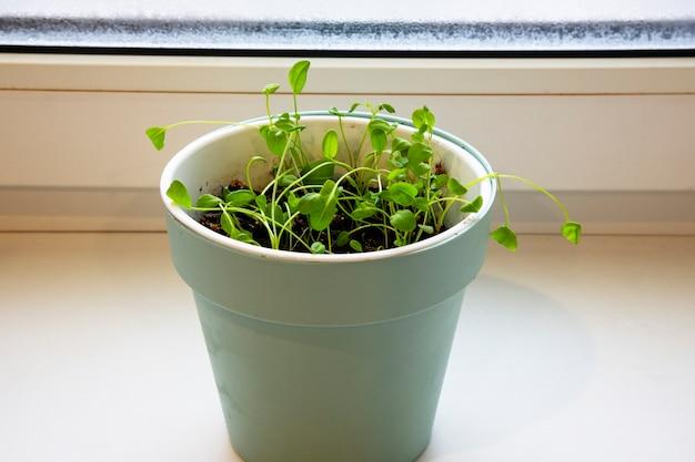 Waterkerssalade op de vensterbank. microgreens groeien. gezond eetconcept. witte achtergrond. close-up - afbeelding