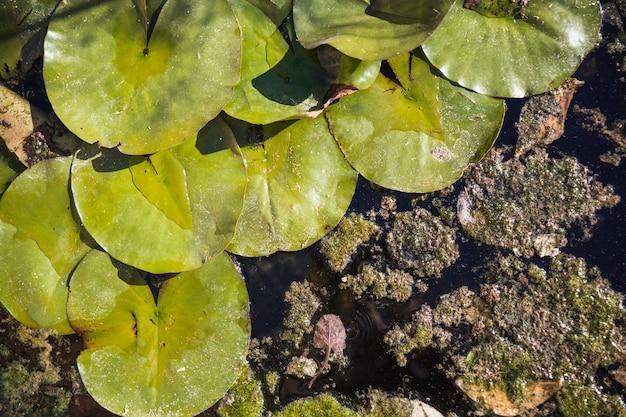 Waterleliebladeren op vuil water
