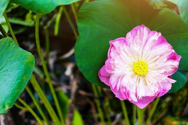 Waterleliebloem in fonteevijver mooi op de groene aardachtergrond
