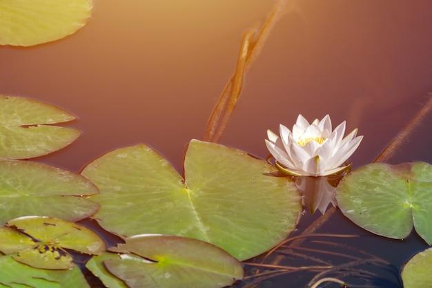 Waterleliebloem in stadsvijver. mooie witte lotus met geel stuifmeel. nationaal symbool van bangladesh.