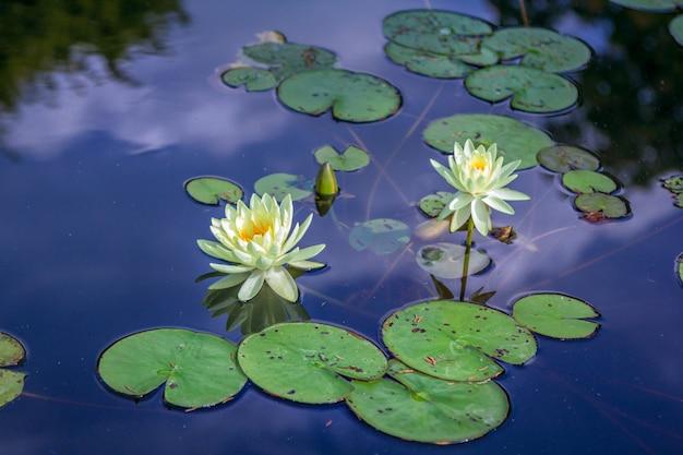 Waterleliebloemen op de vijver met blauwe hemel en wolken die de waterspiegel overdenken