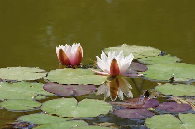 Waterlelies in bloei in een vijver voor een ontspannend moment