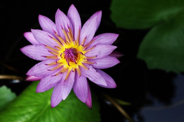 Waterlily lotusbloem op een vijver