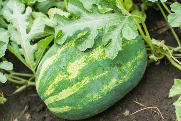 Watermeloenen kweken in het veld. het concept is landbouw. milieuvriendelijke productie van groenten.