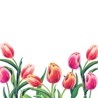 Waterverf bloemenillustratie met mooie tulpen op de witte achtergrond.