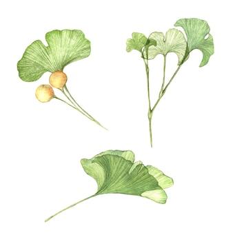Waterverf geschilderde illustratie van ginkgo biloba-tak met zaden transparante geïsoleerde bladeren