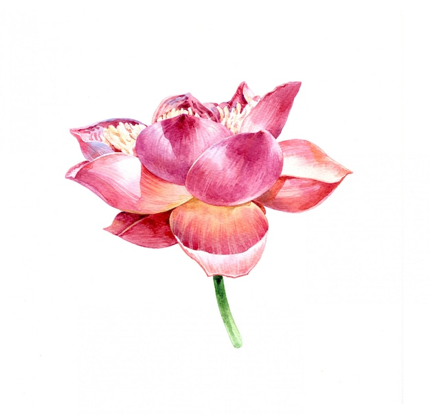 Waterverfillustratie het schilderen van lotusbloem op witte achtergrond