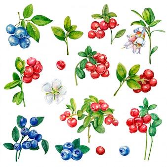 Waterverfillustratie van bes. vossebes, bosbes, bloemen.