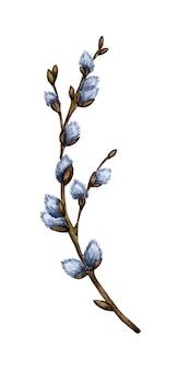 Waterverfillustratie van een pussy wilgentak met tot bloei komende kanonnen. lentetakje, eerste bloemen. pasen, religie, traditie, palmzondag. geïsoleerd op een witte achtergrond. met de hand getekend.