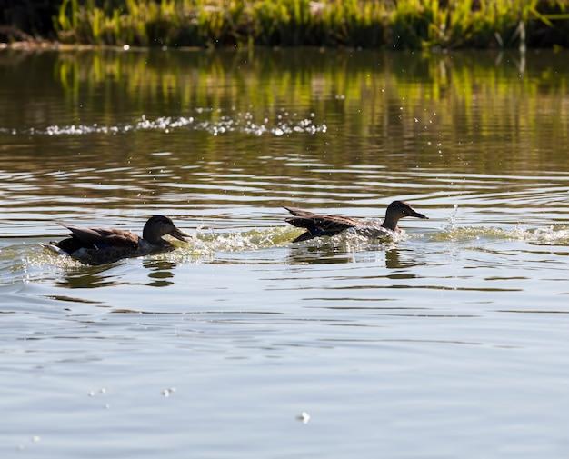 Watervogels eenden in de lente of zomer, watervogels wilde vogels eenden in het wild, kleine mooie wilde eenden