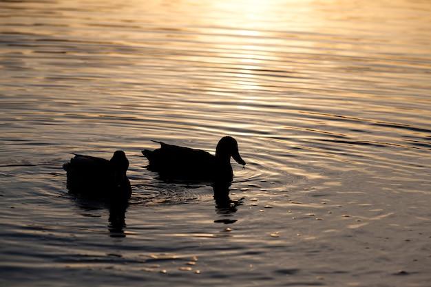 Watervogels in het wild, wilde eenden in de lente of zomer in europa, wilde vogels eenden in hun natuurlijke habitat