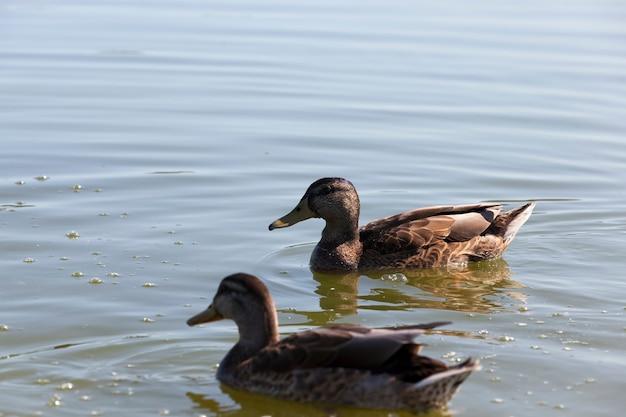 Watervogels wilde vogels eenden in het wild kleine mooie wilde eenden watervogels eenden in de lente of zomer