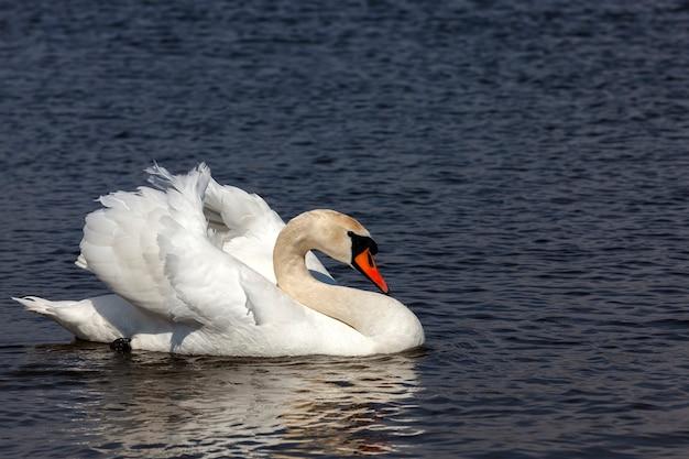 Watervogels zwaan op het meer tijdens de lente