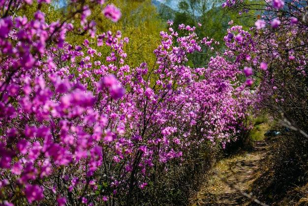 Wazig beeld van rododendron struiken, selectieve aandacht. rhododendron bloei in de altai bergen.