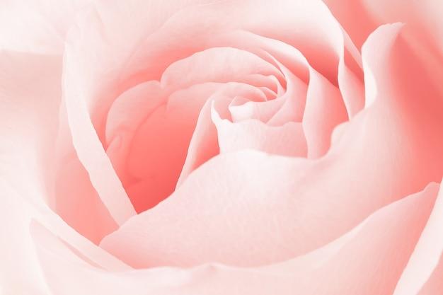Wazig roze roze bloem achtergrond. rose bloem kern close-up.