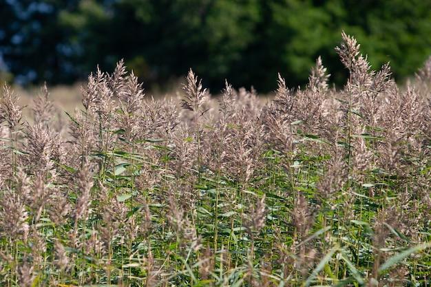 Wazig struikgewas van pluizige bruine aartjes op de achtergrond van een wazig groen bos. stengels zijn groen. selectieve focus