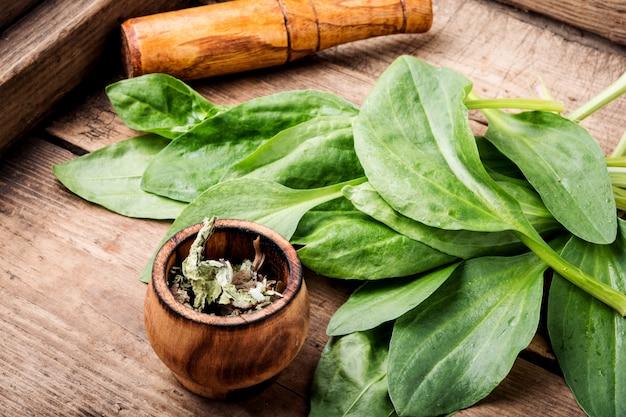 Weegbree-waardevolle geneeskrachtige planten