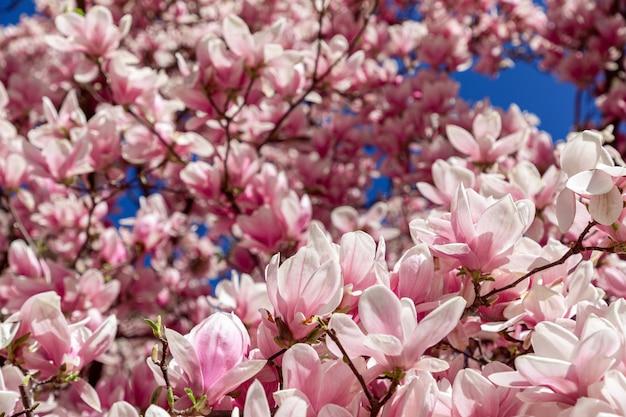 Weelderig bloeiende roze magnolia. natuurlijke bloem achtergrond.