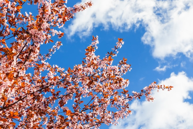 Weelderige bloeiende lentesakura tegen de blauwe hemel, omringd door wolken