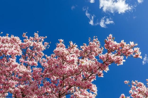 Weelderige bloeiende magnoliatak tegen de blauwe lentehemel.