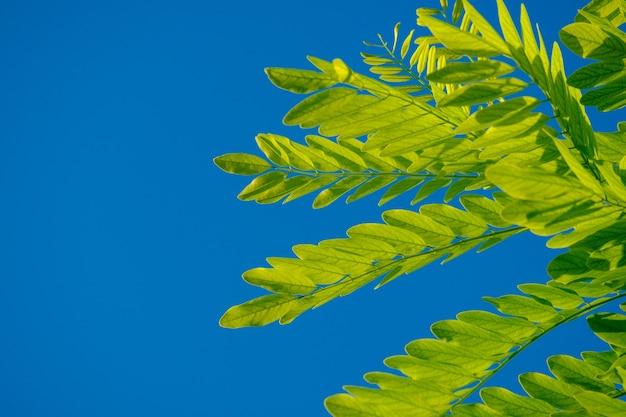 Weelderige groene acaciabladeren tegen een blauwe wolkenloze hemelachtergrond