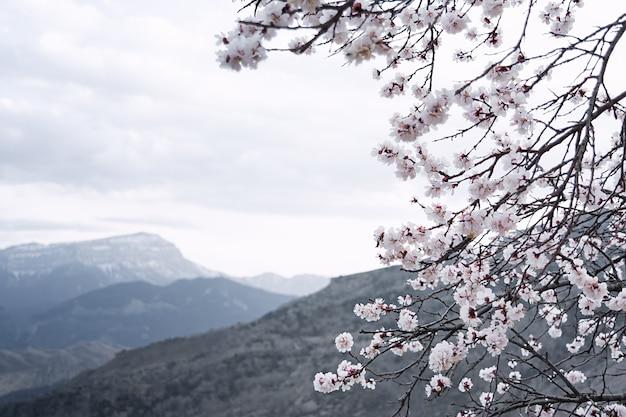 Weergave van een bloeiende abrikozentak op een bewolkte middag op een achtergrond van grijze bergen. het concept van planten, landschap, bergen.