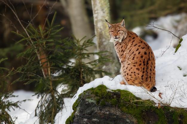 Weergave van een nieuwsgierige wilde kat die op een ijskoude dag iets interessants zoekt in een besneeuwd bos