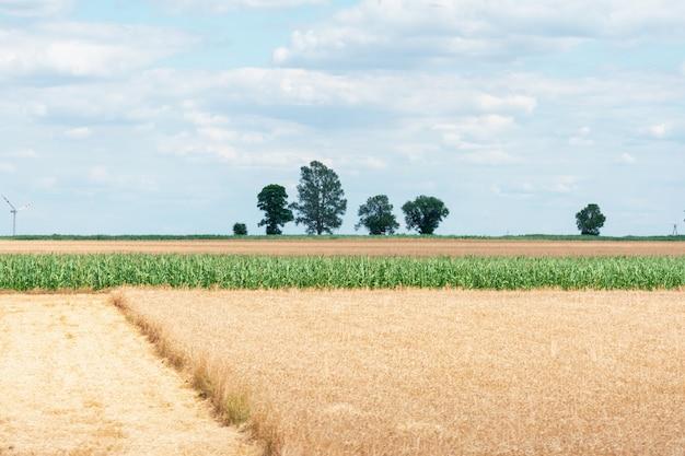 Weergave van een veld met gedeeltelijk gesneden rijpe tarwe en maïs