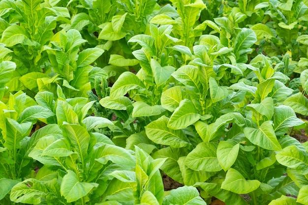 Weergave van groene tabaksplant in veld in chiang rai, thailand. tabaksplantages in azië. Premium Foto