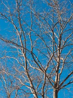 Weergave van oude witte boom zonder bladeren op een blauwe hemel