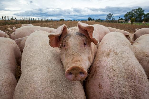 Weergave van varkens buiten in frankrijk