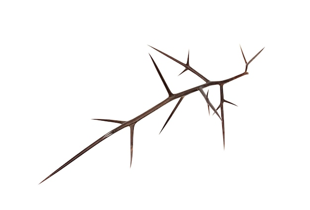 Weerhaak van wilde acacia op een witte achtergrond. blanco voor de ontwerper.