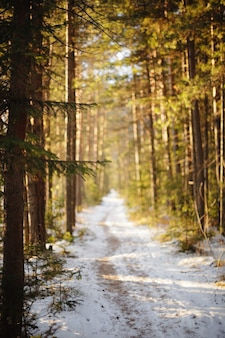 Weg in de winterbos. zonsondergang in dennenbos. winterlandschap.