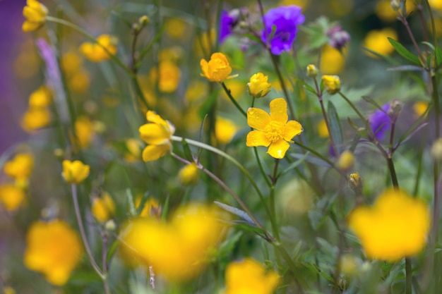 Weide met gele bloemen