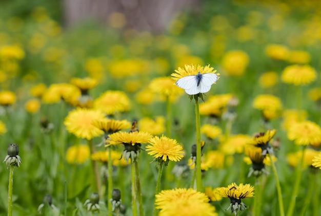 Weide paardebloem bloemen
