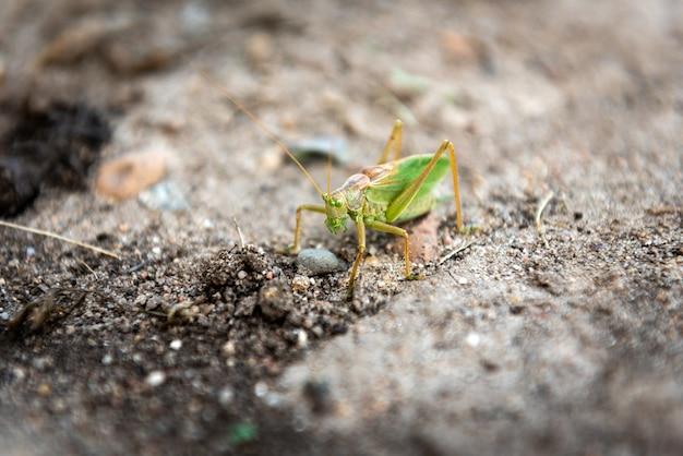 Weide sprinkhaan op de grond.