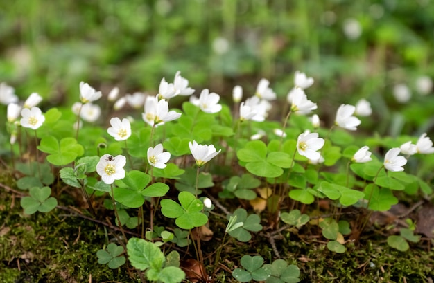 Weide van oxalis of klaverzuring bloeiende witte bloemen in de lente flowers