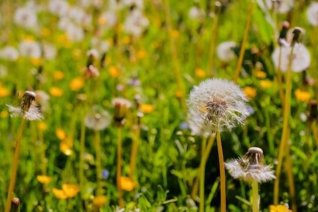 Weide van witte paardebloemen. zomer veld. paardebloem veld. lente achtergrond met witte paardebloemen. zaden. pluizige paardebloembloem