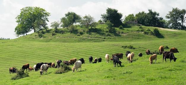 Weiland met grazende koeien en kalveren