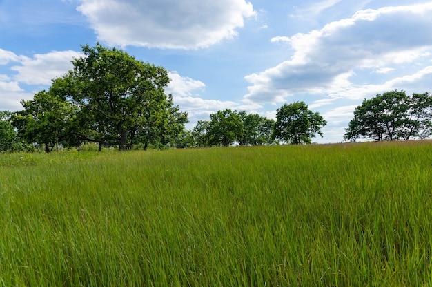 Weiland waarop prachtige hoge eiken groeien, zomerlandschap bij zonnig warm weer.