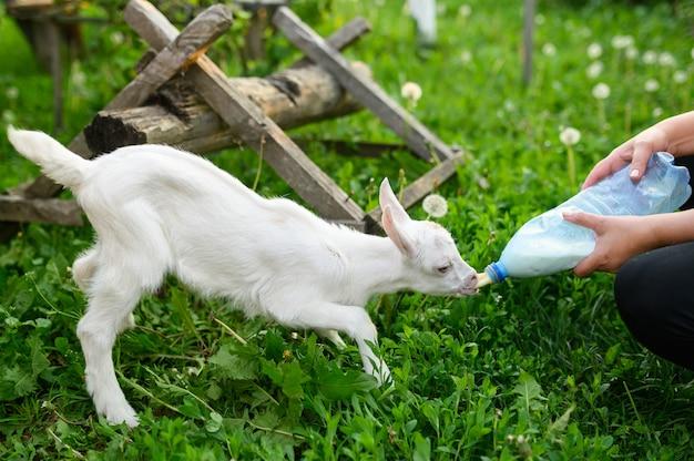 Weinig babygeit die gebottelde melk in een kinderboerderij drinken