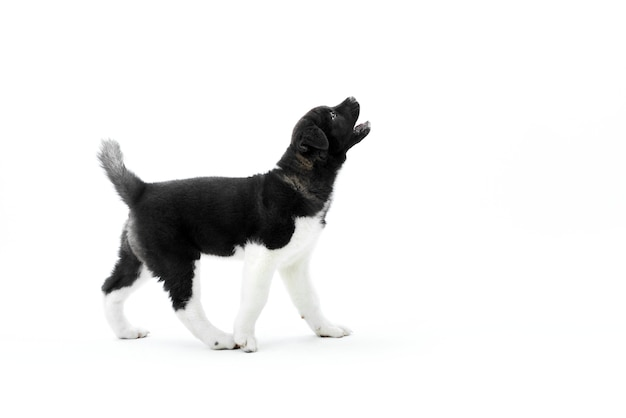 Weinig blaffende amerikaanse akita puppy
