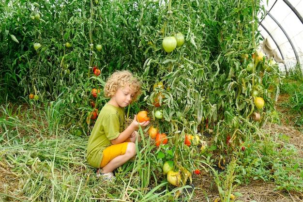 Weinig blonde jongen die tomaten in de tuin plukt