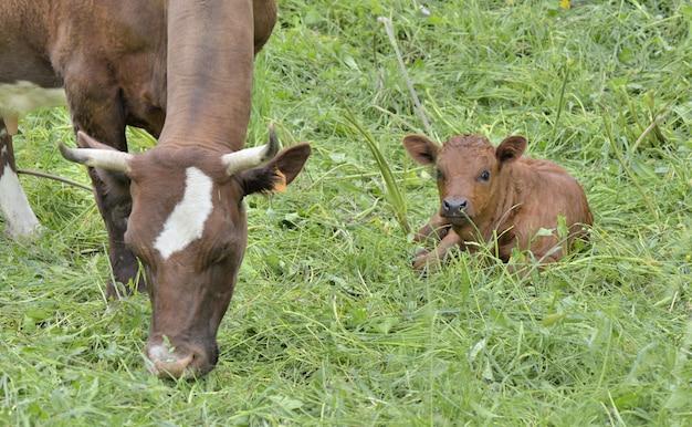 Weinig bruin kalf dat in het gras naast een koe ligt