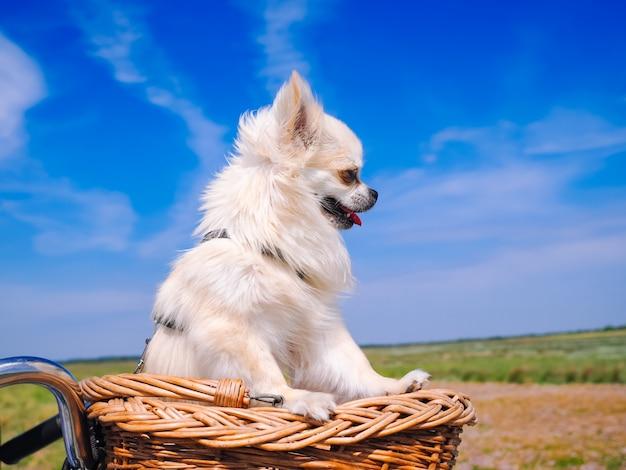 Weinig chihuahua-hond die op fietsmand berijden. puppy reizen met mensen op de weg in het duingebied van schiermonnikoog eiland in nederland. actieve familiesport. zomer reizen en vakantie concept.