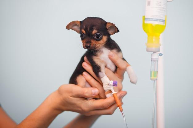 Weinig chihuahua van een hond met een druppelbuisje in de handen van een dierenarts